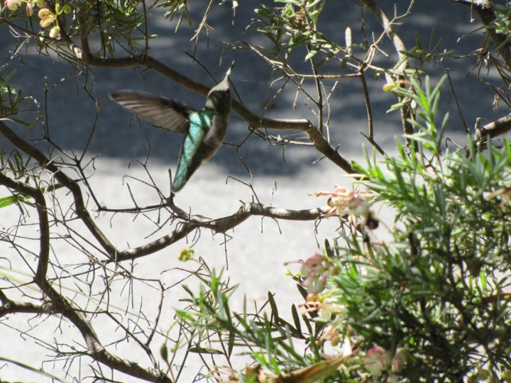 Humming bird flying around a bush.